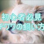 初心者必見!賢く可愛らしいチワワの飼い方を伝授します!