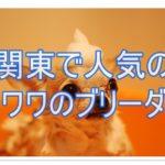 関東で人気のチワワブリーダー☆その人気の秘密を探っちゃえ