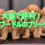 大阪でトイプードルを飼うなら?安くて評判のブリーダー!