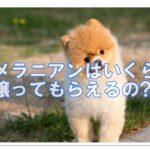 ポメラニアンの子犬を無償で譲ります?里親制度を理解しお迎えしよう!