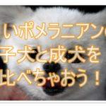 白ポメラニアンの毛色のルーツ☆子犬の成長と成犬のサイズは