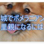 ポメラニアンの里親になりたい☆心の優しい茨城の方必見!!