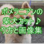 ポメラニアンの柴犬カット!!可愛い画像と上手なやり方満載♪