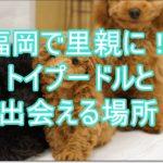 福岡で子犬の里親になろう!トイプードルと出会える場所!