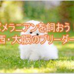 関西でブリーダー探し♪大阪でポメラニアンを飼うために!!