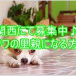 関西にて募集中!!里親として可愛い☆チワワと仲良く生きる!!