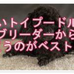 黒いトイプードルの子犬を買うならブリーダーからがベスト!