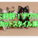 大好評!ロングコートチワワの超人気カットスタイル集6選!!