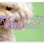 トイプードルを飼う前に☆東京で子犬の里親になりませんか??