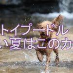 トイプードルと暑い夏も楽しもう☆夏人気のカットはコレだ!!
