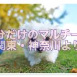 マルチーズの自分だけのブリーダーを見つける☆関東・神奈川