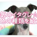 かっこいいイタリアングレーハウンド☆毛色は何種類あるの?!