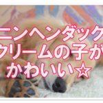 人気のカニンヘンダックス☆かわいいクリームの子犬を紹介!!
