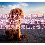 大人気!!キャバリアとトイプードルのミックス犬「キャバプー」って??