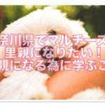神奈川でマルチーズの里親になりたい!里親になる為に学ぶ事!