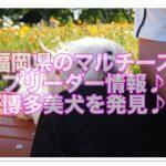 マルチーズブリーダー!!福岡県で博多美犬を見つけちゃおう☆