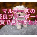 人気犬種マルチーズ☆超優良ブリーダーを佐賀で見つけたよ♪