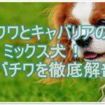 チワワとキャバリアのミックス犬「キャバチワ」を徹底解剖☆