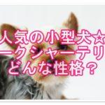 人気犬種☆ヨークシャーテリア☆意外な性格とその魅力とは??