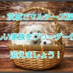 関東・茨城マルチーズのブリーダー探し!新しい家族をお迎え!