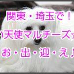 白く可愛いマルチーズ☆ブリーダーを関東・埼玉で☆探そう!!