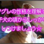 イタリアングレーハウンド☆子犬のうちからしつけましょう♪