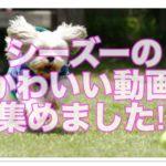シーズーの魅力たっぷり超絶かわいい動画30選!!絶対見てね!!