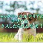 ジャックラッセルテリアとチワワ☆ミックスしたらどんな犬!?