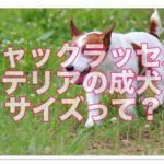 ジャックラッセルテリア成犬サイズの紹介!!散歩や運動量は??