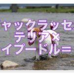 ジャックラッセルテリアとトイプードルのミックス犬の詳細!!