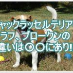 ジャックラッセルテリアのラフ・ブロークンの違いは○○に?!