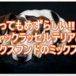ジャックラッセルテリアとダックスフンドのミックス犬って?!