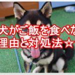 柴犬がご飯を食べない理由は?対処法や見分け方も紹介します!