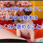 ジャックラッセルテリアのスムース☆しつけの基本は褒める!!