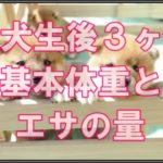 柴犬の仔犬期☆3ヶ月目の適正体重と正しいエサの量に注目!!