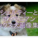 シェットランドシープドッグとポメラニアンのミックス紹介!!