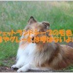 シェットランドシープドッグの毛色☆黒やグレーじゃないよ!!
