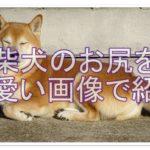 柴犬のまん丸おしりに注目!そのかわいいカットを見てみよう!