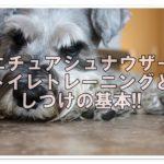 ミニチュアシュナウザー ☆トイレトレーニングとしつけの基本!!