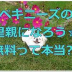 ペキニーズの里親になろう☆無料で譲ってもらえるって本当??