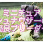 厳選!ミニチュアシュナウザーの優良ブリーダー♪北海道特集!