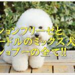 ビションフリーゼとプードルのミックス犬ビショプーの全て!!