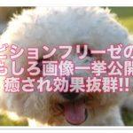 ビションフリーゼのおもしろ画像一挙公開☆癒され効果抜群!!