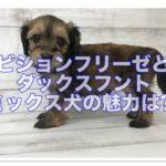 ビションフリーゼとダックスをミックス☆どんな魅力がある?!
