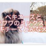 ペキニーズとチワワのミックス☆ペキチーの成犬てどんな犬?!