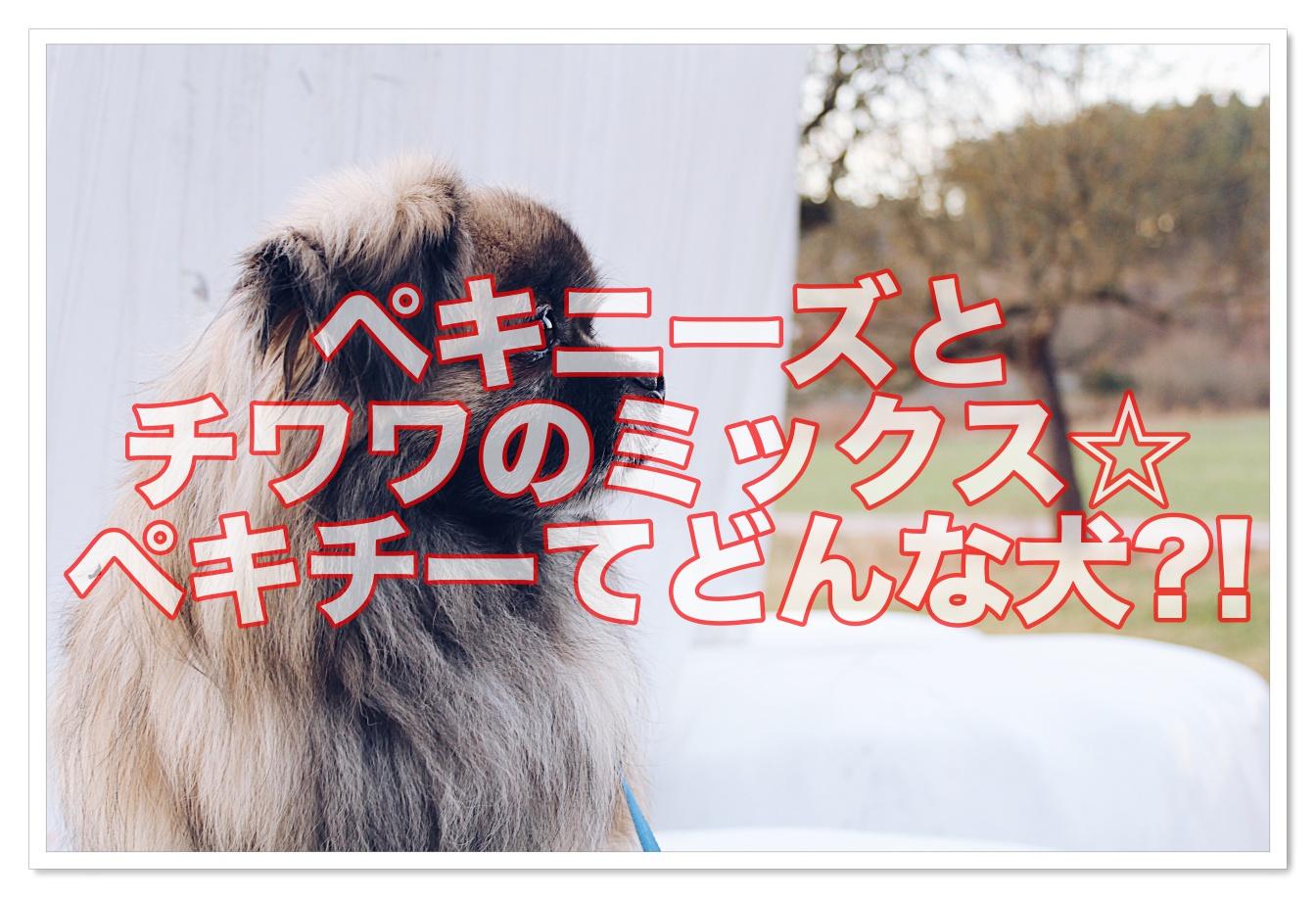 ペキニーズとチワワのミックス☆ペキチーの成犬てどんな犬