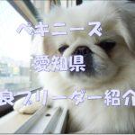 ペキニーズのおすすめブリーダーをご紹介します☆愛知県版!!