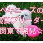 ペキニーズのオススメ優良ブリーダー!!関東で見つけました☆