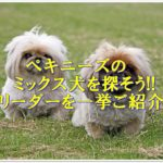 ペキニーズのミックス犬を探そう!!ブリーダーを一挙ご紹介☆