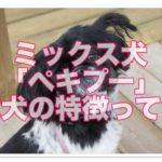 ペキニーズとトイプードルのミックス「ペキプー」成犬の特徴